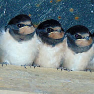 House martins in the eaves