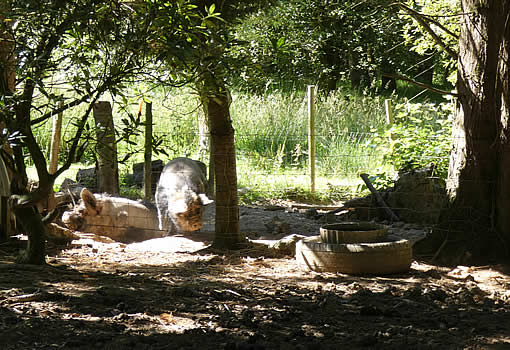 Pigs on our smallholding