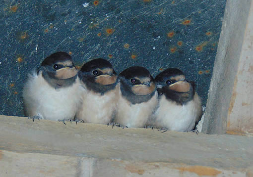 House martins in the barn eaves