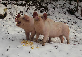 Our pigs enjoying the snow